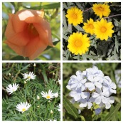 ?, Gazinia, Daisy, Cape Leadwort