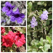 Petunia & Purple Duranta