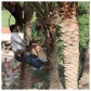 Palm Tree Pruning 11