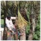 Palm Tree Pruning 10