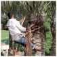 Palm Tree Pruning 8