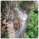 Palm Tree Pruning 4