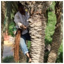 Palm Tree Pruning 3